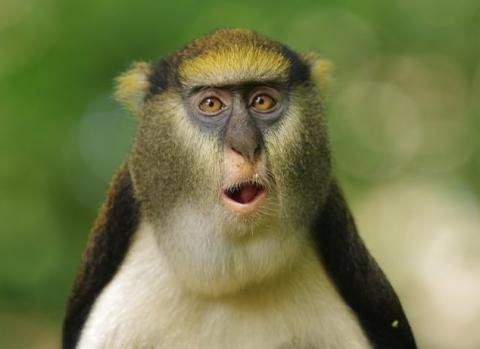 Monkey-calls