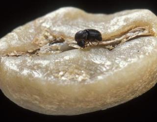 tiny-beetles-love-making-coffee-beans