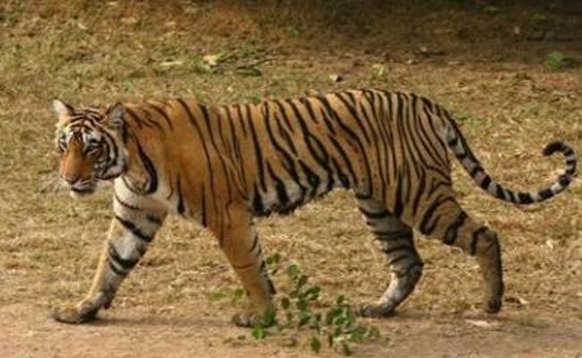 Bengal_Tiger_Reuters_650