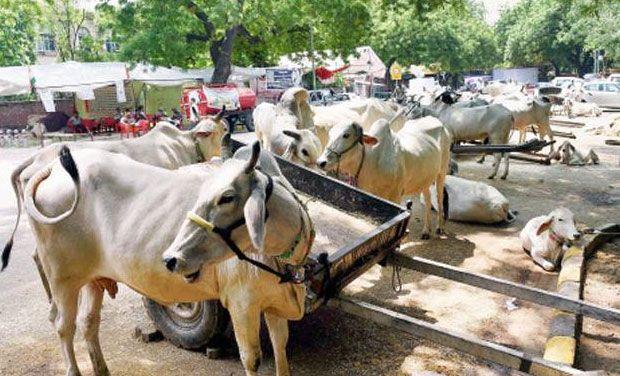 cows---PTI