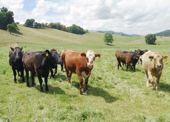 Cattle_images