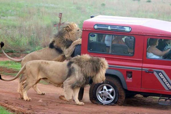 Lions_Attack