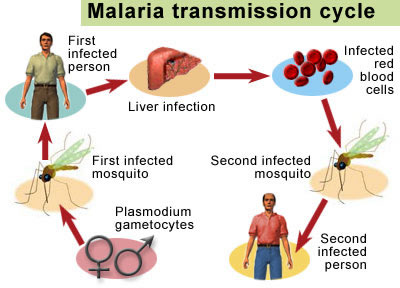 malaria_cycle