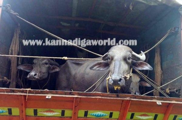 Byndooru_Illeagle Cow_Transfort (2)