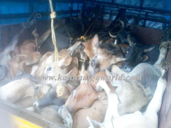 cattle_raid_photo_3