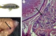 Female fish develops male organs, impregnates self