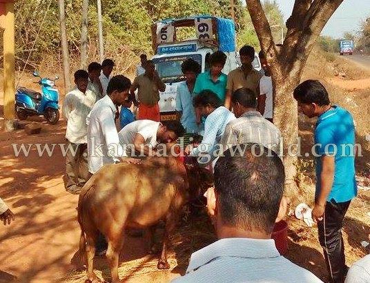 Gangolli_Cow_Injured (2)