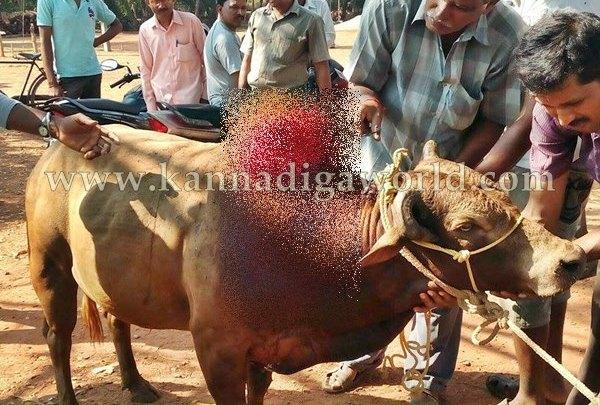 Gangolli_Cow_Injured (3)