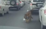 Highway tiger: Big cat in Qatar gives drivers a fright