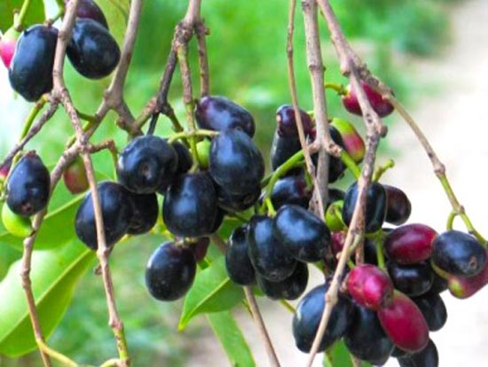 indian_black_berry_or_java_plum