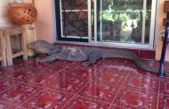 Huge Lizard Tries to Enter Home in Thailand