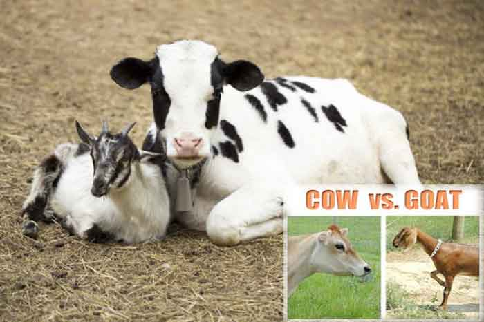 cow_goat_pic