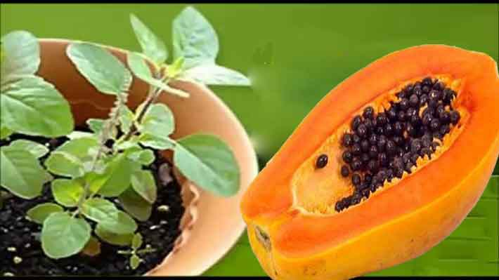 tulasi_papaya_ayur