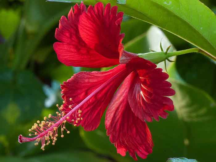 hibicuss_flower_1
