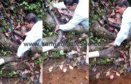 ತಲೆ ಭಾಗದಲ್ಲಿ ಗಾಯಗೊಂಡಿದ್ದ ಬೃಹತ್ ಗಾತ್ರದ 'ಕಾಳಿಂಗ' ಸರ್ಪ ರಕ್ಷಣೆ (Video)